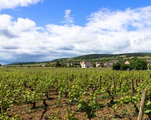 Burgundy Vines Field