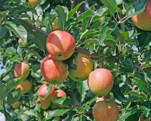 Apples Orchard Tree
